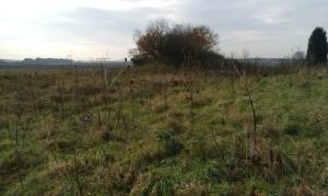 View of wild teasels, looking across field towards Little Woods.
