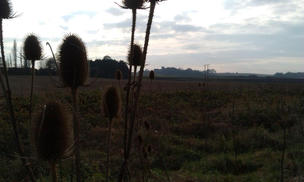 Sherburn-in-Elmet, teasels growing wild, 201 years after 'The Teasel Field'.